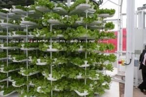 Zelena salata raste u soliterima