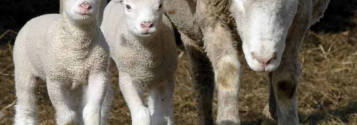 Arapi žele našu jagnjad
