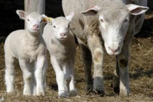 Virus korona oborio cenu jagnjetine