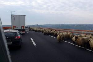 Ovce blokirale saobraćaj