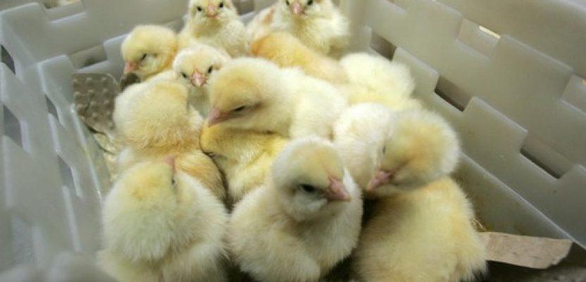 Pandemijska kriza pogađa i svetsko živinarstvo