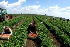 U Hrvatskoj potraga za beračima jagoda
