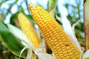 Rekordan rod kukuruza, a ratari na gubitku