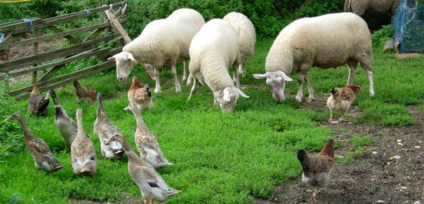 Od danas prijave za podsticaje u organskoj stočarskoj proizvodnji