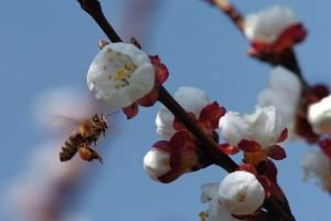 Apel ratarima i voćarima da ne ugrožavaju pčele