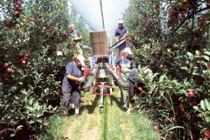 Delta agrar ulaže 10 miliona evra u plantažu jabuka