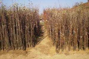 Zabrana izvoza sadnica loze u EU koči srpske proizvođače