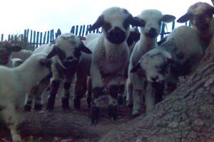 Izraelci zainteresovani za svrljišku jagnjad