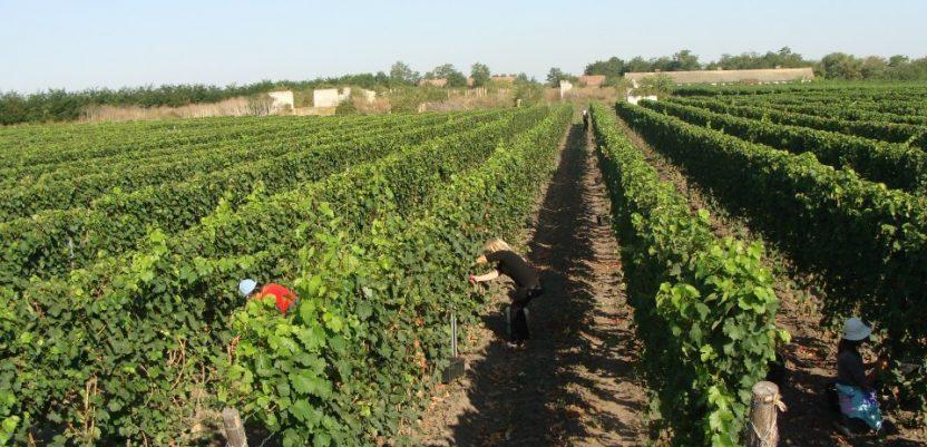Župski vinogradi ove godine bez roda, a verovatno i sledeće