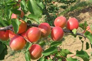 Priznate dve nove sorte voća