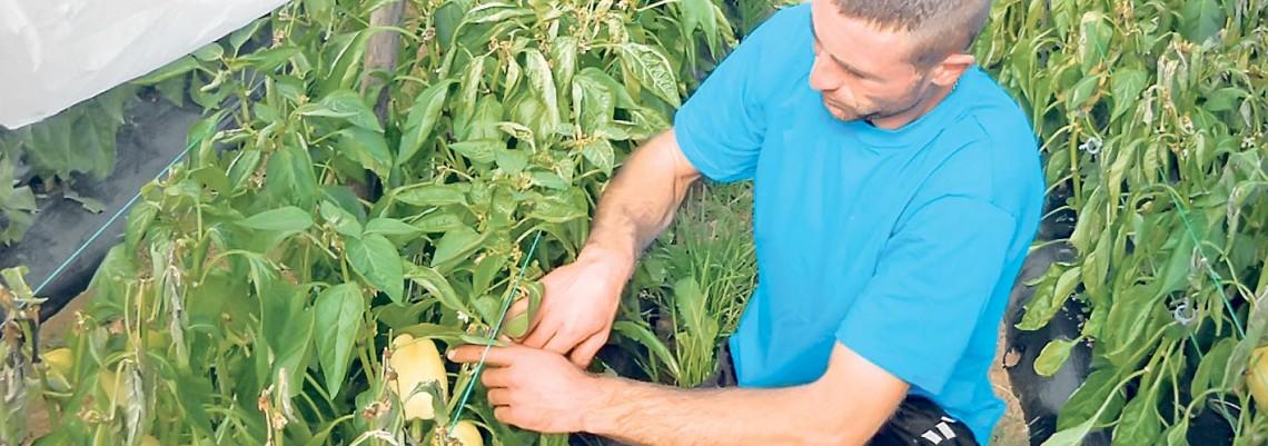 Leskovački povrtari počeli berbu paprike