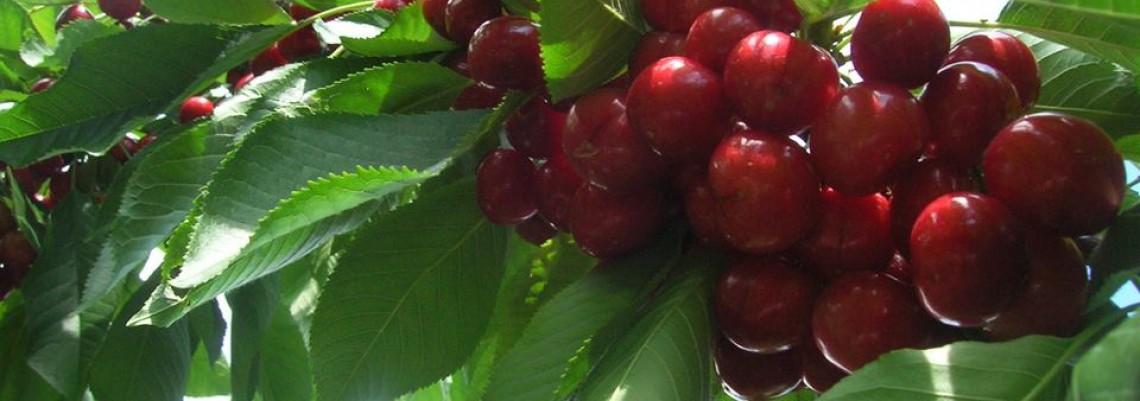 Rod jagode i trešnje izgubljen