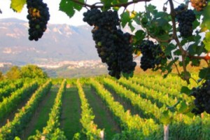 Od 1. januara počeo upis u vinarski registar