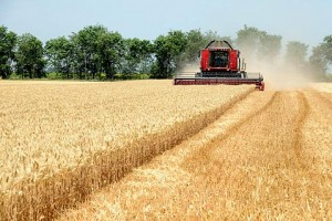 Junska vrućina umanjila prinose žitarica