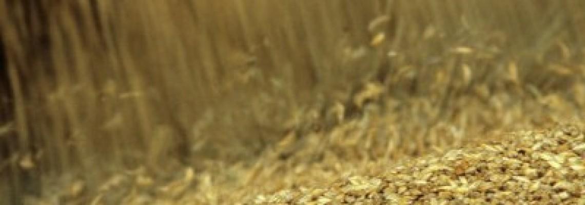 Niske cene pšenice plaše proizvođače