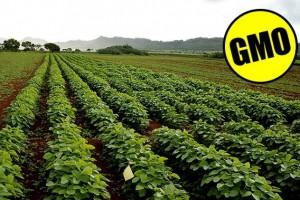 Sve manje GM soje na njivama u Srbiji