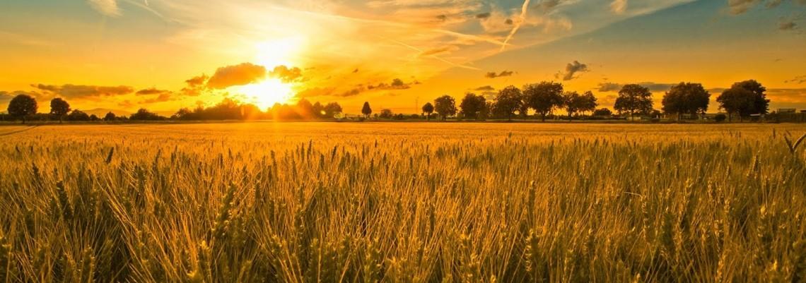 Proizvodnja pšenice manja za petinu