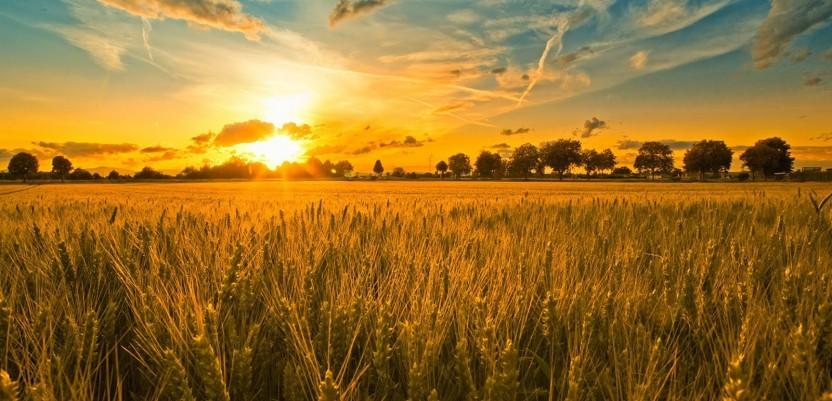 Za 20 odsto manje pšenice nego prošle godine