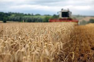 Umesto u rezervama, pšenica u silosima