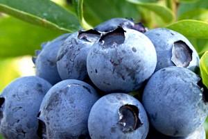 Dani borovnice od 24. do 27. jula