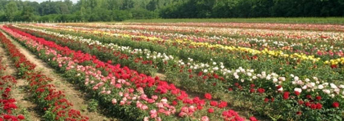 Izvoz cveća i dalje manji od uvoza