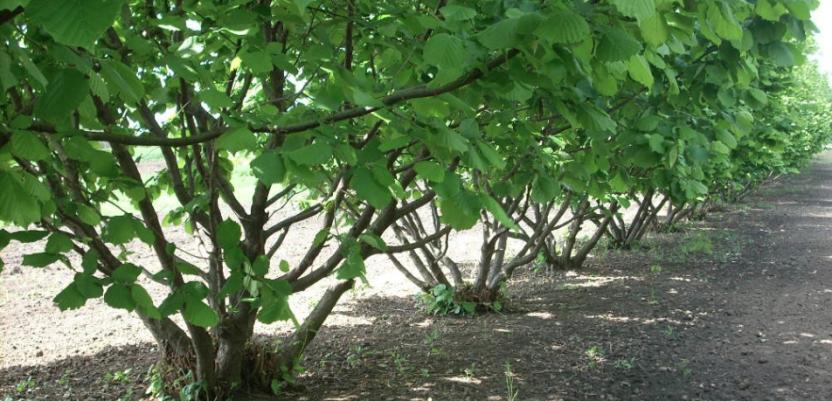 Ferrero traži partnere za proizvodnju lešnika u Banatu