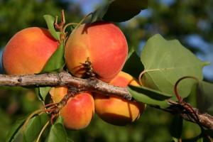 Rusija ponovo uvozi voće iz Srbije