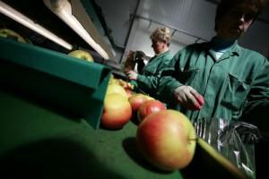 Naši mešetari šalju poljske jabuke