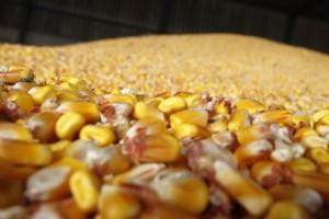 Uvozimo svinje, a izvozimo kukuruz