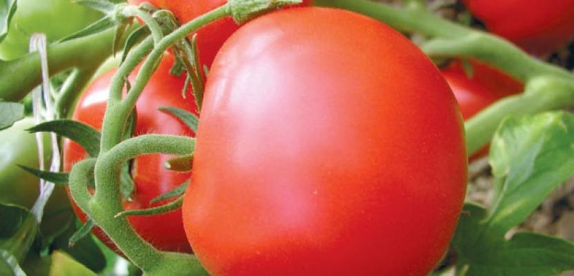Najbolja integralna proizvodnja plasteničkog paradajza