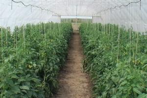 Povrće iz plastenika: Mnogo rada – pa zarada