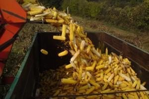 Kukuruz ove godine bez aflatoksina