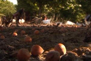 Ferero će i dalje otkupljivati lešnike u Srbiji