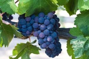 Loše vreme umanjilo kvalitet grožđa