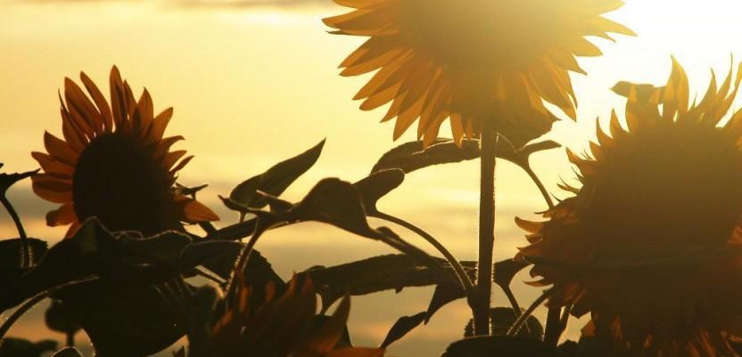Zašto je niska otkupna cena suncokreta?
