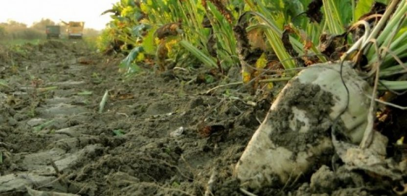 Neizvestan opstanak proizvodnje šećera