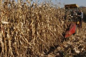Ratari zadovoljni rodom, ali ne i otkupnom cenom kukuruza
