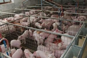 Na prodaju farma svinja u Temerinu