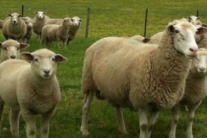 Ovce i koze stižu iz Albanije