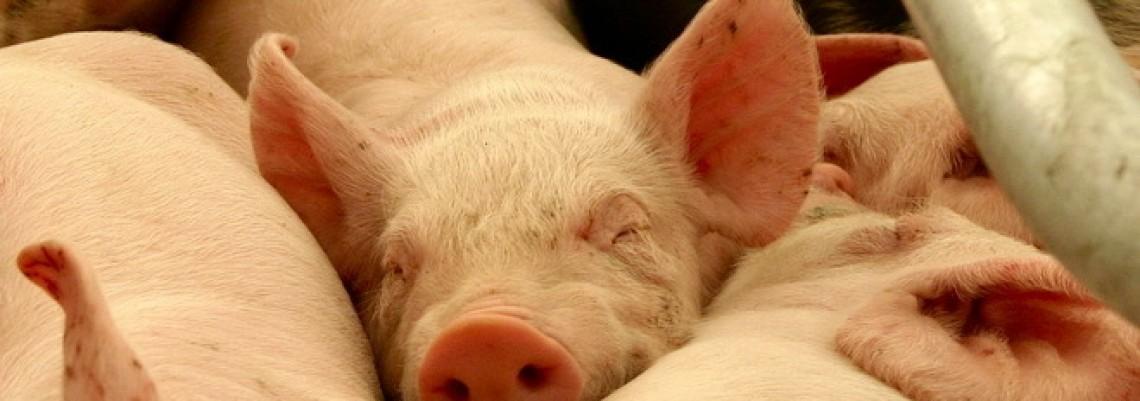 EU časti vakcinom protiv svinjske kuge