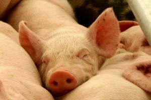 Niko neće srpske svinje