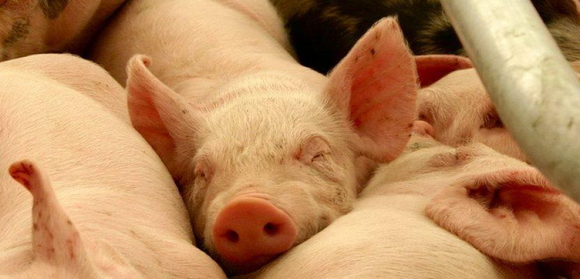 Mere za prevenciju afričke svinjske kuge