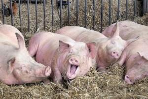 Italijani hoće da uzgajaju 50.000 svinja u Srbiji