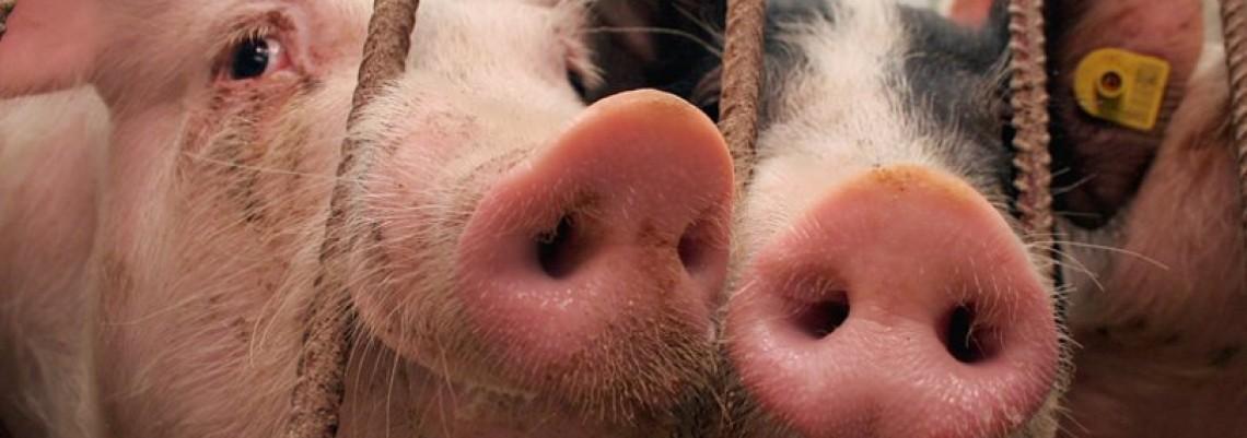 Srbima se više isplati tov svinja
