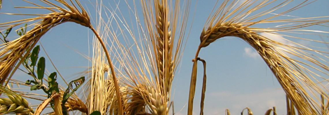 MMF poručuje – gajite prasiće, živinu i ječam