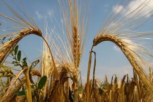 Naučnici na tragu novim generacijama sorti pšenice i ječma