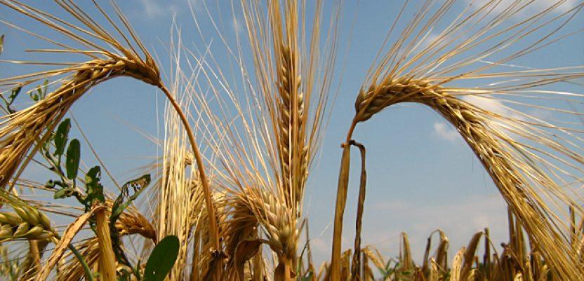 Otkupna cena pivarskog ječma 20 odsto viša od cene pšenice