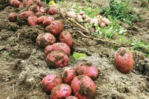 Uvoz krompira obesmislio proizvodnju ovog povrća
