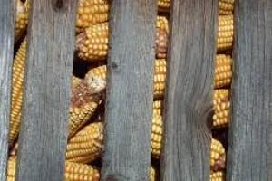 Da li vreba aflatoksin i ove godine