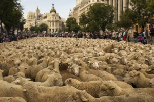 Madrid: Pastiri izveli 2.000 ovaca na ulice u znak protesta